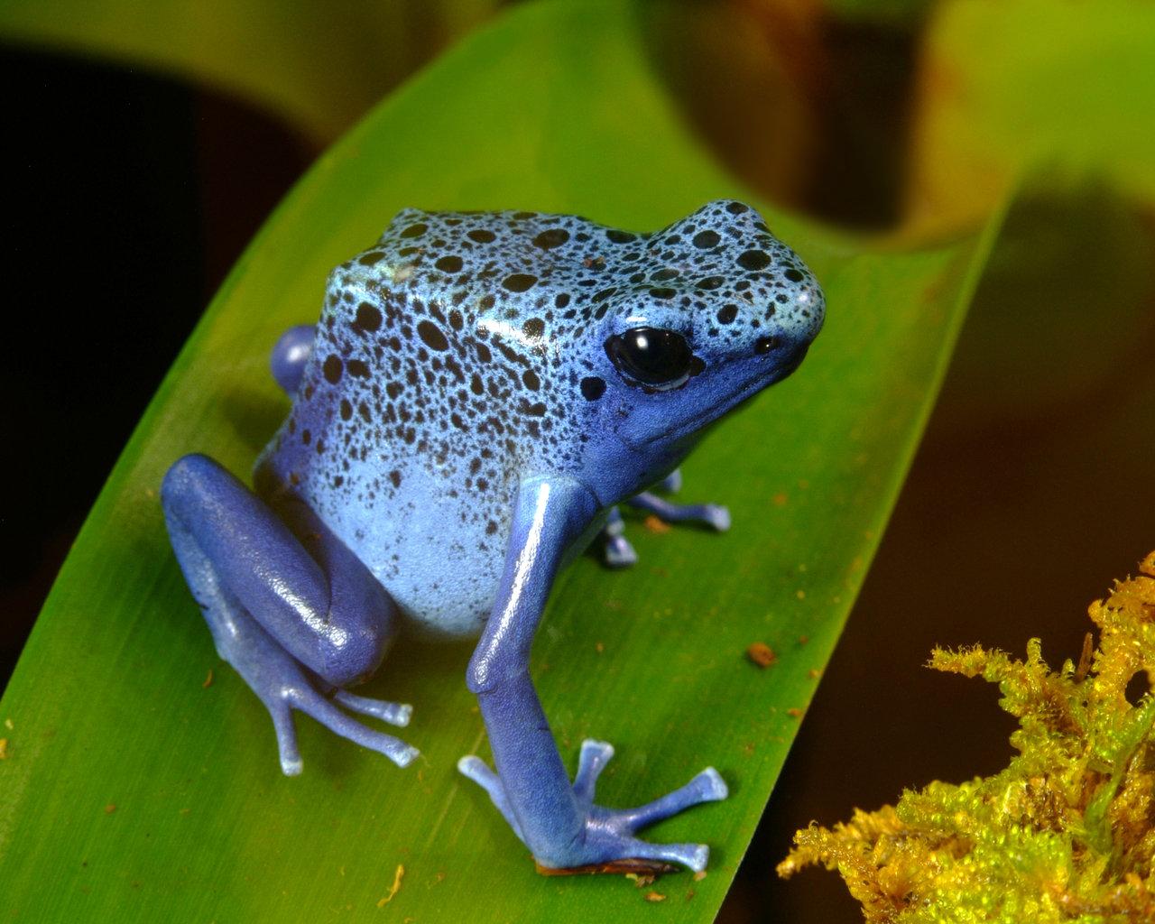 Edenpics-com_005-098-Grenouille-bleue-Dendrobate-Bleu-appelee-aussi-Dendrobate-azureus%5B1%5D