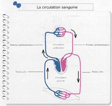schema circulation sanguine a completer