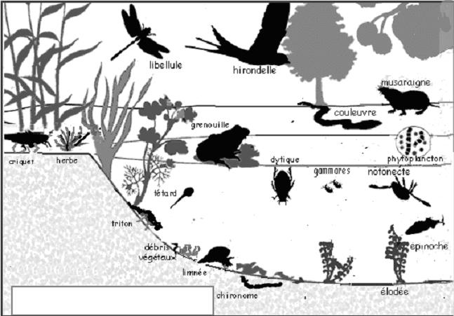 Ecosysteme D Une Mare