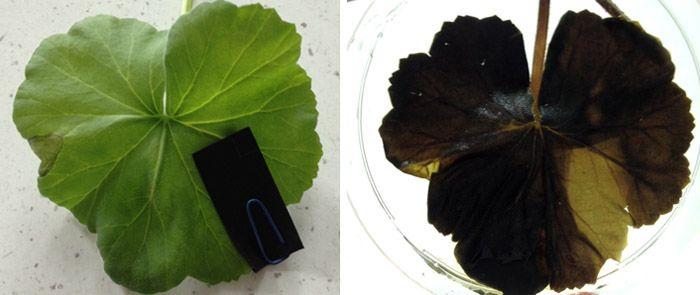 Photo de feuille avant et après traitement